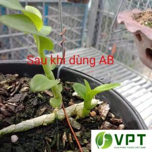 Dưỡng chất AB - Giải độc, kích rễ